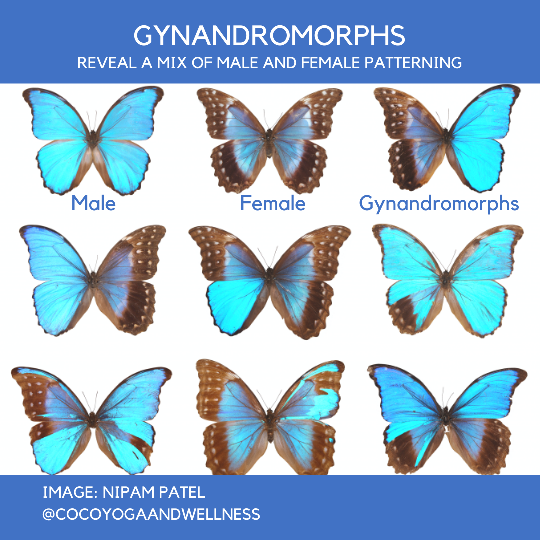 Butterfly Gynandromorphs Coco Yoga and Wellness