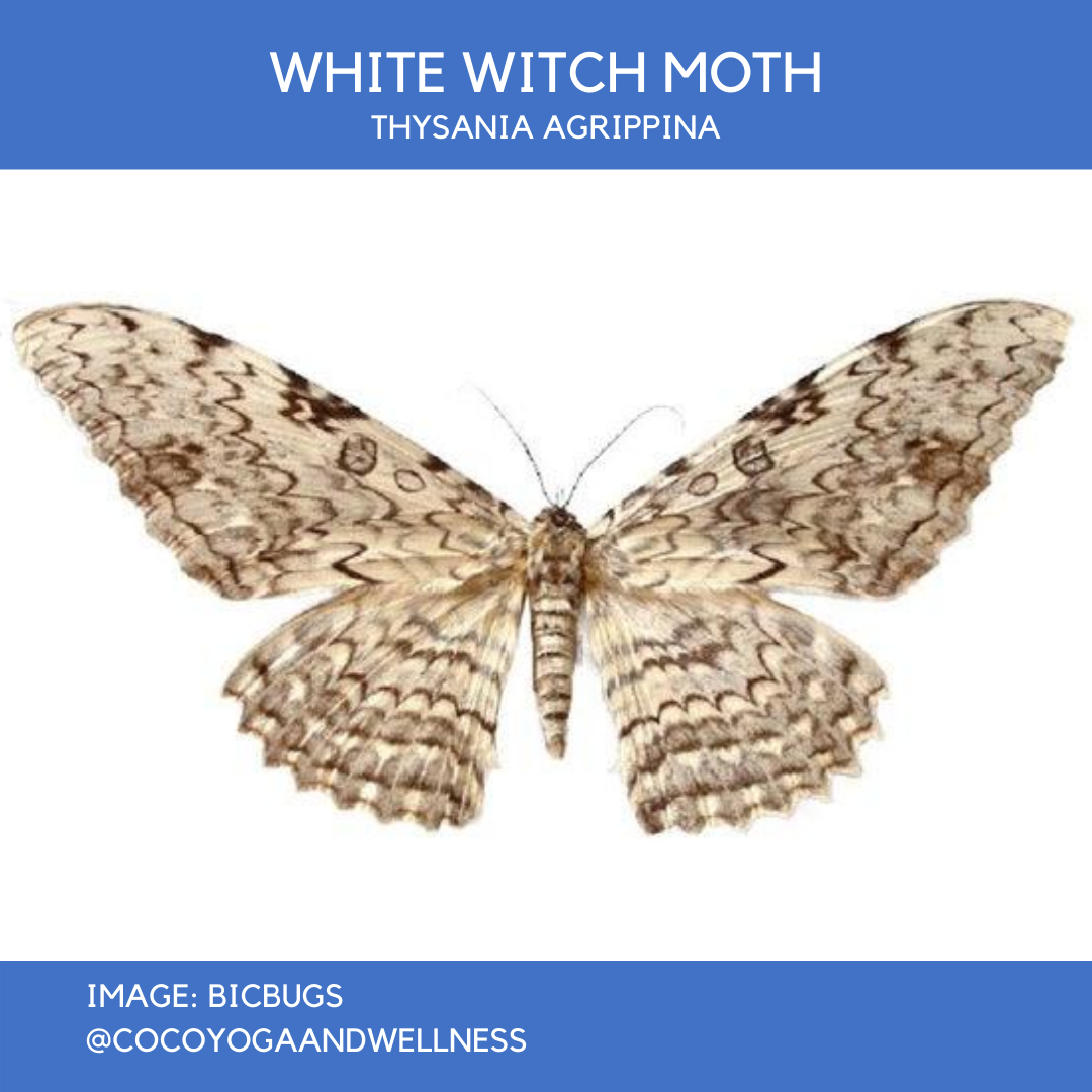 White Witch Moth Coco Yoga & Wellness